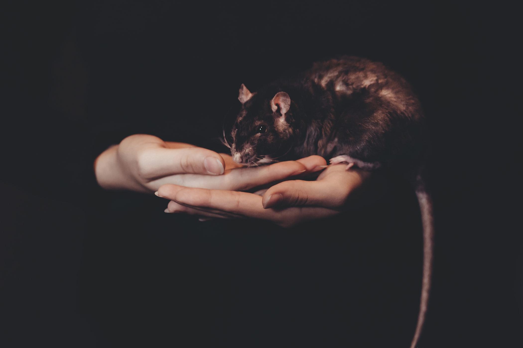 Mon rat